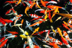 Koi fish pond Stock Images