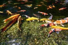 Koi fish pond Royalty Free Stock Images