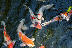 Koi fish in a pond close up Royalty Free Stock Photos