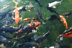 Koi fish in the pond Royalty Free Stock Photos