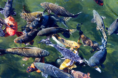 Koi fish in the pond Stock Photography