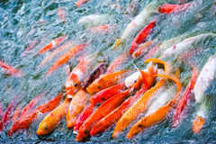 Koi fish pond. Colorful koi fishes feeding in a pond Royalty Free Stock Photos