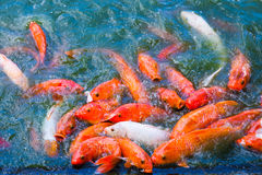 Koi fish pond. Colorful koi fishes feeding in a pond Royalty Free Stock Images