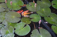 Koi Fish Pond full of Water Lilies. Calming image of pet koi fishes swimming under the lilies Stock Photo