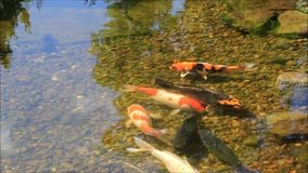 Koi fish in a pond stock footage