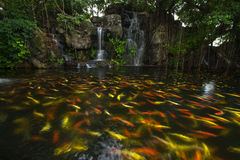 Koi fish in pond at the garden with a waterfall Stock Photo