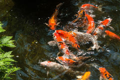 Koi fish in a pond going for their feed on a sunny day Stock Photos