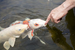 Koi Fish In A Pond Stock Photography