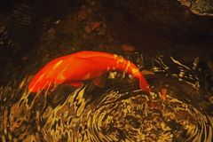 KOI FISH IN A POND IN A HOTHOUSE. Image of an orange Koi fish swimming in a pond in a hothouse stock images