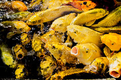 Koi fish pond in Jogjakarta. Colorful of life. Koi fish pond in Jogjakarta, Indonesia Stock Photo
