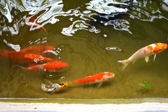 Koi Fish in pond Royalty Free Stock Photos