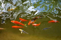 Koi Fish in pond Royalty Free Stock Images