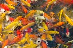 Koi Fish In Pond (pesce operato della carpa) Immagini Stock Libere da Diritti
