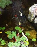 Koi Fish Pond stock photos