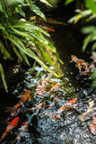 Koi fish in a pond Royalty Free Stock Image