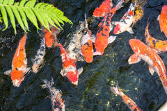Koi fish in a pond on a sunny day Royalty Free Stock Images
