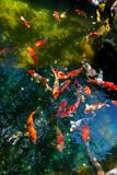 Koi fish pond Royalty Free Stock Image