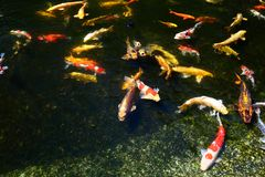 Koi fish pond Stock Photos