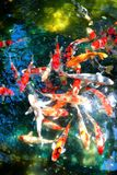 Koi fish pond. A swarm of colorful and beautiful koi fishes swim carefree and happily in the pond stock images