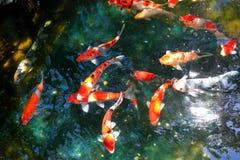 Koi fish pond Stock Photography
