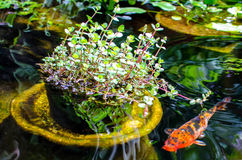 Koi fish pond. Koi fish swimming in a pond Royalty Free Stock Photography