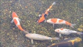 Koi fish in pond stock video