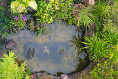 Koi fish in a pond. Top view of pond that surrounded with beautiful plant Royalty Free Stock Photography