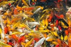 Koi Fish In Pond (utsmyckad karpfisk) Royaltyfri Foto
