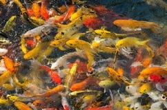 Koi Fish In Pond (utsmyckad karpfisk) Arkivfoto