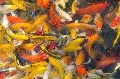 Koi Fish In Pond (utsmyckad karpfisk) Royaltyfri Fotografi