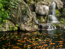 Koi fish in pond  with a waterfall Royalty Free Stock Photos