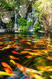 Koi fish in pond with waterfall Royalty Free Stock Photography