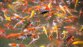 Koi fish in pool Stock Photo