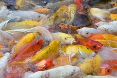 Koi Fish que nada orgánico natural de las variaciones hermosas del color Fotografía de archivo libre de regalías