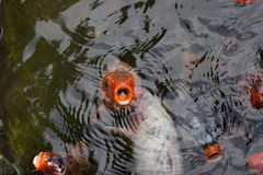 Koi Fish que pede o alimento Fotografia de Stock