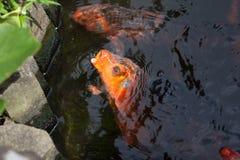 Koi Fish que pide la comida Fotografía de archivo libre de regalías