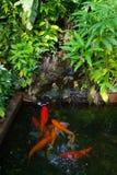 Koi fish. Several koi carp in the pond Stock Photos