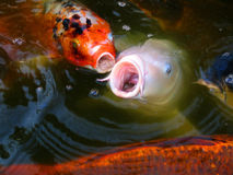 Koi Fish Singing Lizenzfreies Stockbild