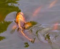 Koi fish at surface royalty free stock photography