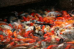 Koi fish swarming in the pond, china Stock Photography
