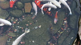 Koi fish swim in the artificial pond stock footage