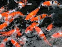 Koi fish swimming. Brightly coloured koi fish swimming Royalty Free Stock Photos