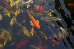 Koi fish swimming. Asia fish swimming water gold stock photos