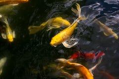 Koi fish swimming. Asia fish swimming water gold Royalty Free Stock Image