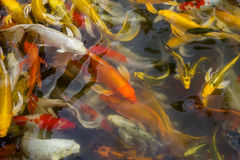 Koi fish swimming. Asia fish swimming water gold Royalty Free Stock Photography
