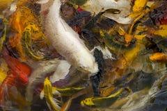 Koi fish swimming. Asia fish swimming water gold Stock Photography