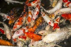 Koi Fish swimming beautifully in color variations.  Stock Image