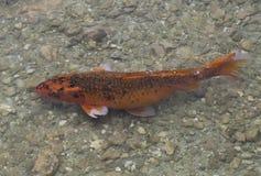 Koi Fish Swimming en Rocky Pond Images stock