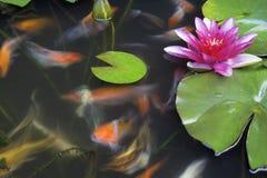 Koi Fish Swimming i dammet med näckrons Arkivbild