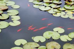 Koi fish swimming in lotus pond Royalty Free Stock Photography